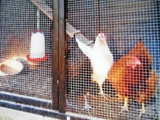 Ode aan de bruine kip