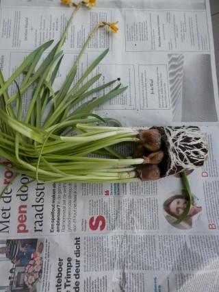 Duurzame bloembollen