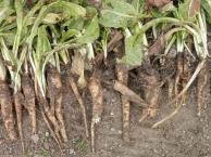 Witlofwortels