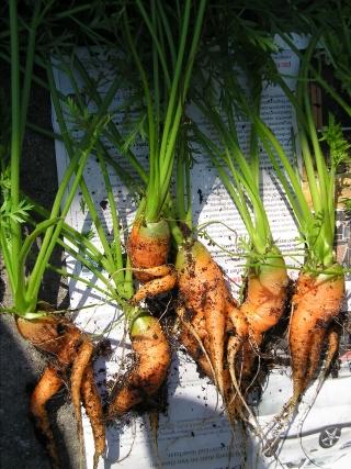 Bemeste wortels