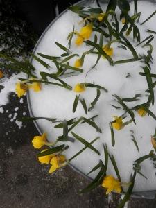 Voorjaarsbloemen sneeuw
