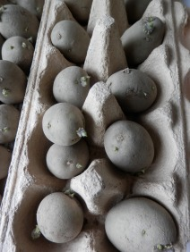Aardappels voorkiemen moestuin