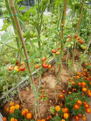Combinatieteelt tomaten en afrikaantjes.