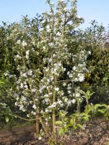 Moestuin bloeiende appelboom