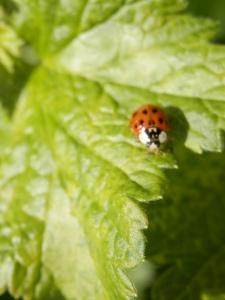 Lieveheerstbeestje. Ladybug