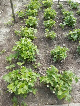 Aardbeienplanten