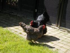 Kippen. Australorp. Amrock