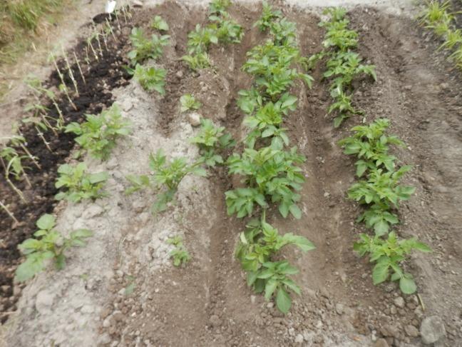 Aardappels aanaarden