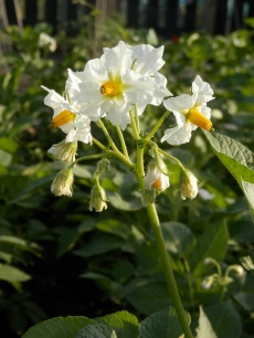 Bloeiende aardappelplant