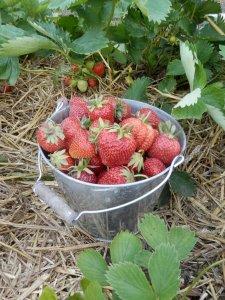 Aardbeien in de moestuin