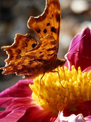 Gehakkelde aurelia vlinder