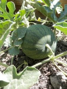 Watermeloen in de moestuin