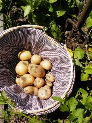 Aardappeloogst moestuin