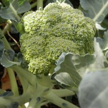 Broccoli in de moestuin