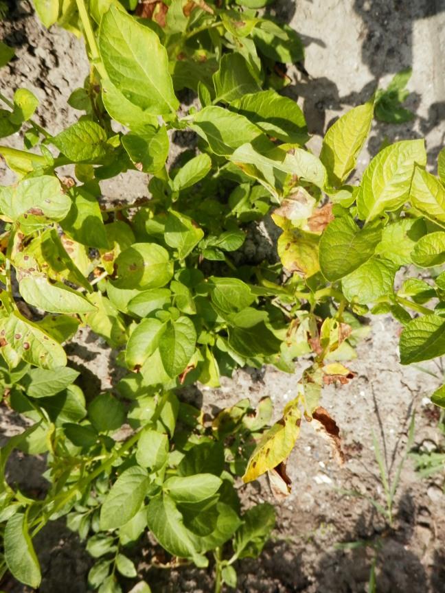 Aardappelziekte Phythopthora
