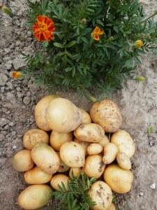 Aardappels Obama