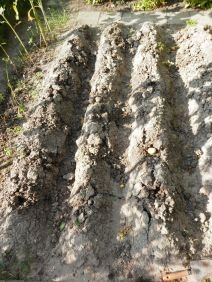 Aardappelruggen moestuin