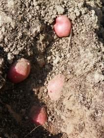 Aardappels Tiamo