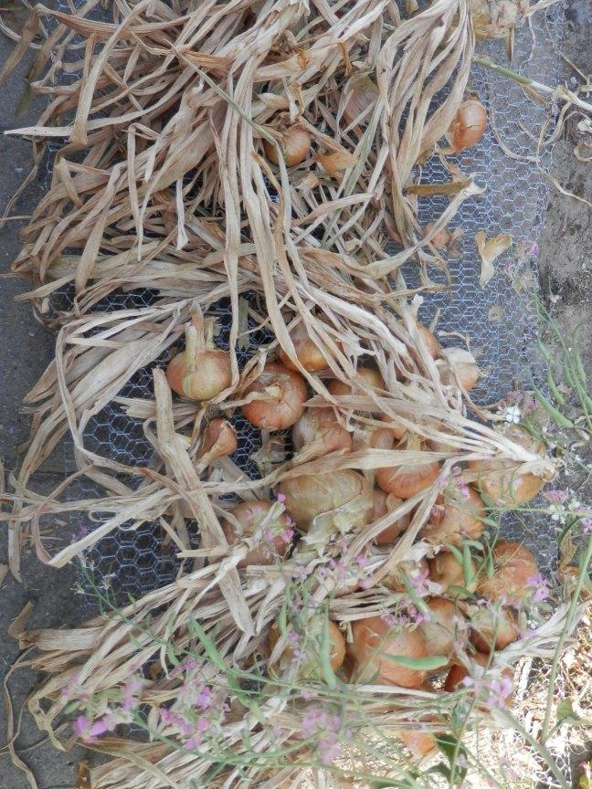Uien drogen en schoonmaken na de oogst