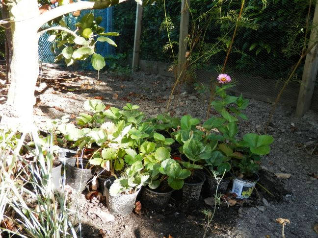 Aardbeiplanten