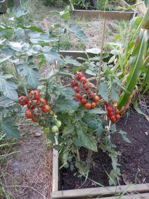 Tomaten in de schoolmoestuin