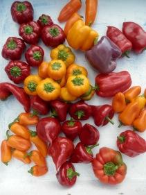 Paprika oogst uit de moestuin