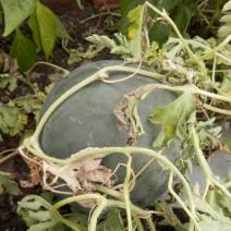 Watermeloen uit de moestuin