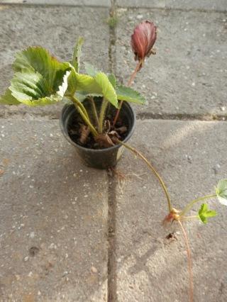 Aardbeienstekken planten
