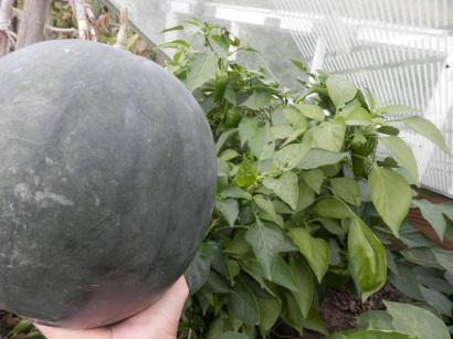 Watermeloen zelf kweken