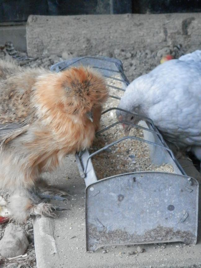 Zijdehoender kriel en cochinkriel