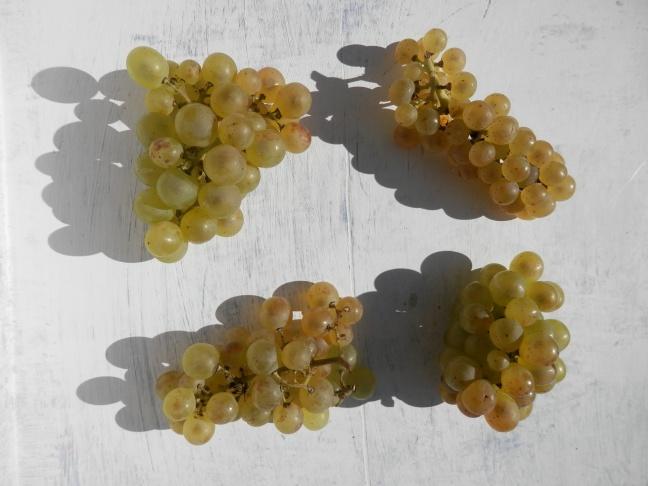 Witte druivenrassen
