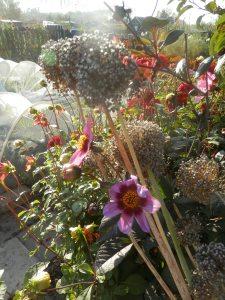 Prei bloemen in het zaad. | Moestuin