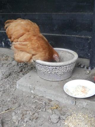 Kippen toevoegen aan de toom