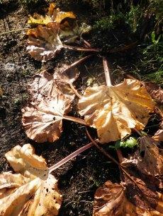 Rabarber in de herfst.