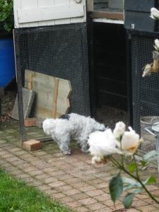 Hond eet kippenpoep