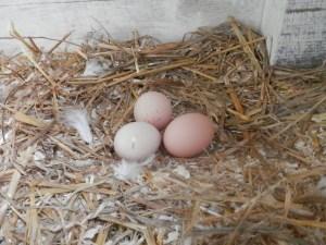 Kippen eieren