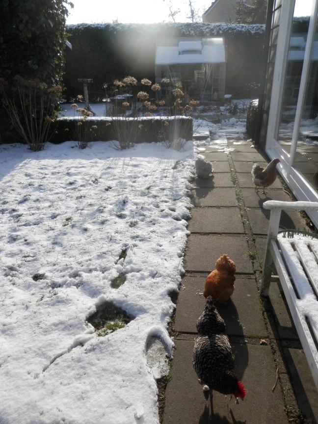 Kippen en sneeuw