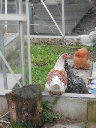 Kippen in de kas