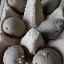 Aardappels voorkiemen