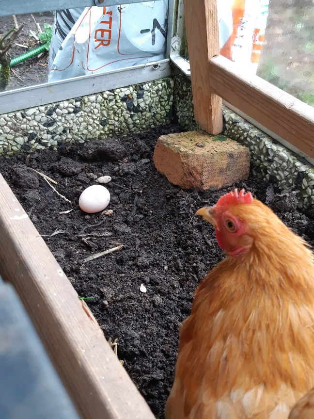 Kippen cochin eerste ei