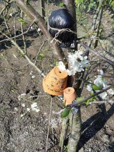 Luizen bestrijden fruitbomen.