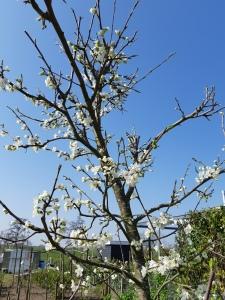Luizen bestrijden fruitbomen