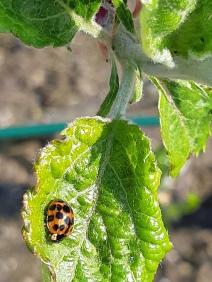 Lieveheersbeestje. Ladybug.