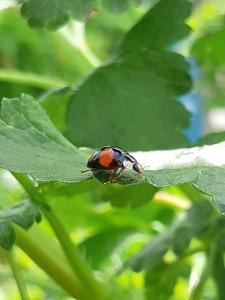 Lieveheersbeestje. Ladybug