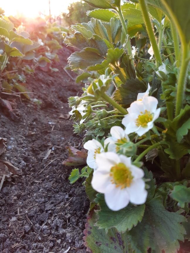 Aardbeienbloemen