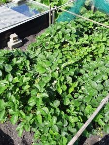 Aardbeienblad uitdunnen