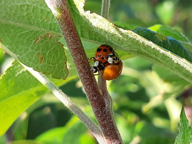 Lieveheersbeestjes. Helpers in de tuin.