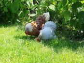 Kippen in de achtertuin