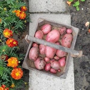 Aardappel Tiamo