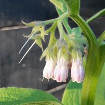 Bloemen smeerwortel